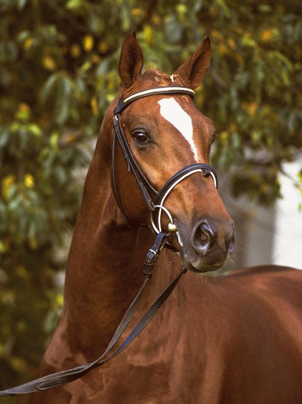 Dacaprio, Hanoverian stallion, Bridlewood Farm
