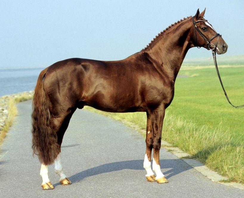 Dacaprio, Hanoverian stallion