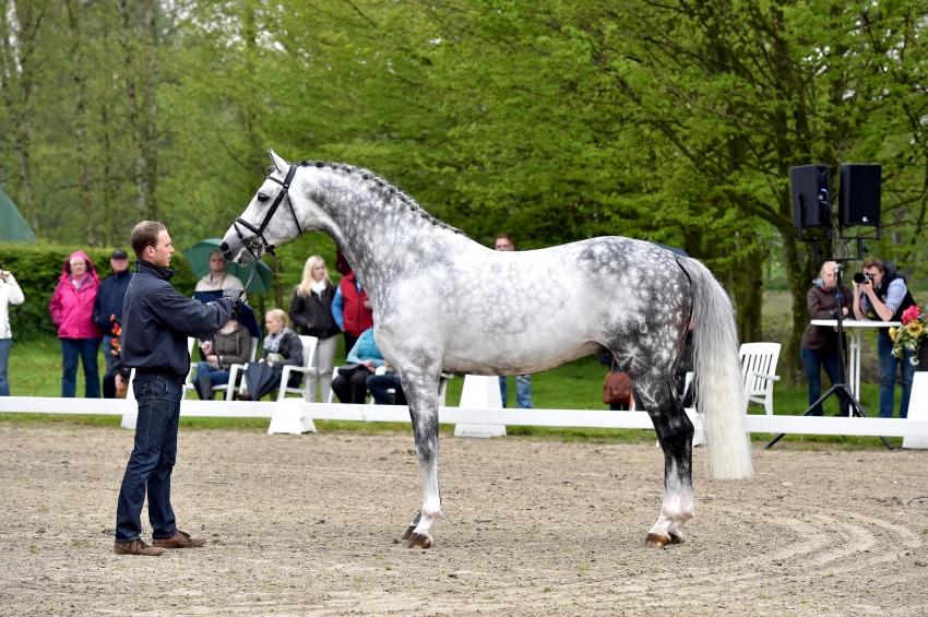 Fairbanks, Oldenburg Stallion