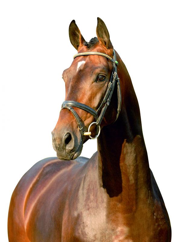 First Dance, Hanoverian stallion