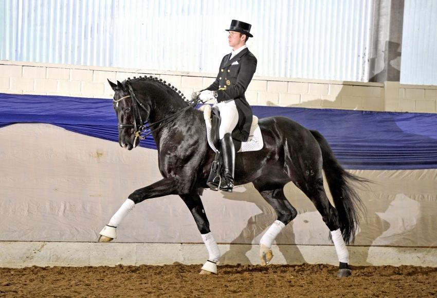Hampton, Hanoverian stallion