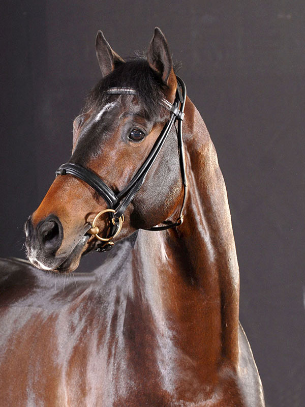 E. H. Herzensdieb, Trakehner stallion